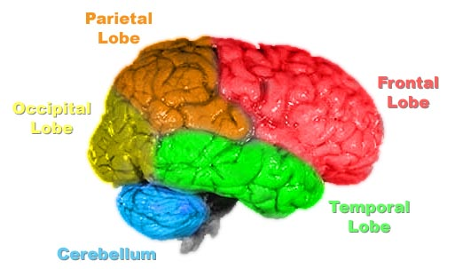Writing a resume for a psychology job is not a brainless task, and it is important to have many psychology skills including knowing the parts of the brain https://upload.wikimedia.org/wikipedia/commons/5/5b/Brain-anatomy.jpg
